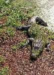 American Alligator Sleeping in the Sun