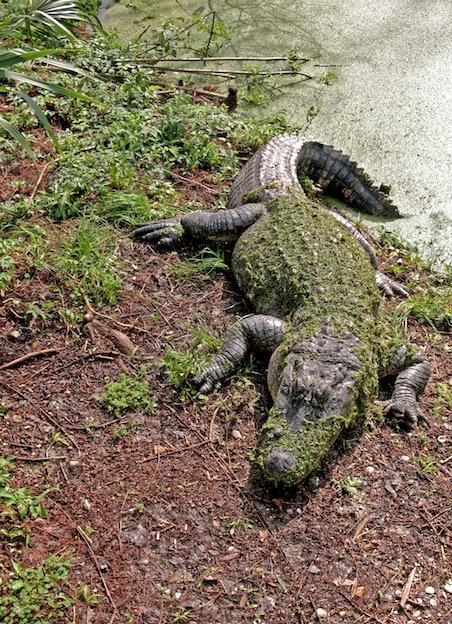 Características del caimán del Mississippi.