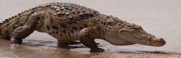 Saltwater crocodile anatomy