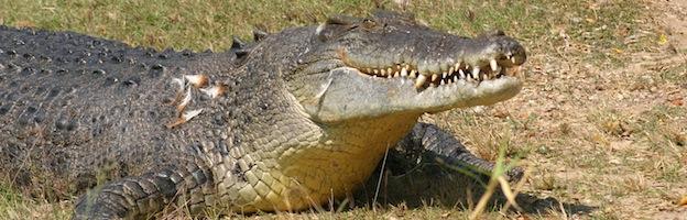 Crocodile-Alligator-Caiman