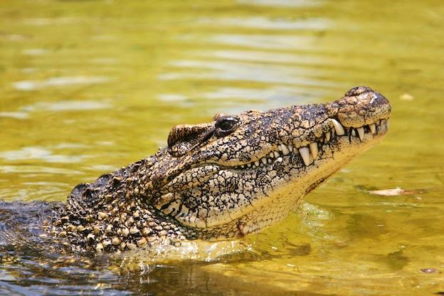 Características del cocodrilo cubano