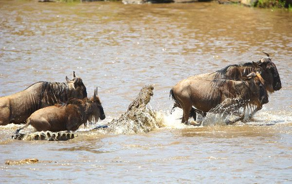 Nile Crocodiles Crocodylus Niloticus Trying To Grab Blue Wildebeest