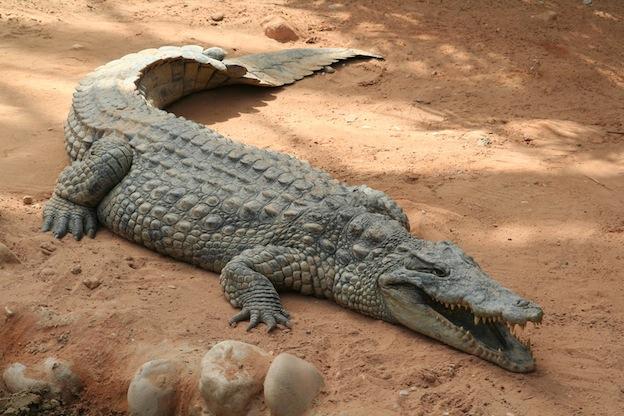 Características anatómicas de un cocodrilo.