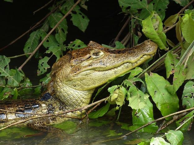 Hábitat natural de los caimanes.