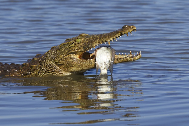 Crocodile eating habits