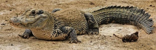 Crocodiles in Culture