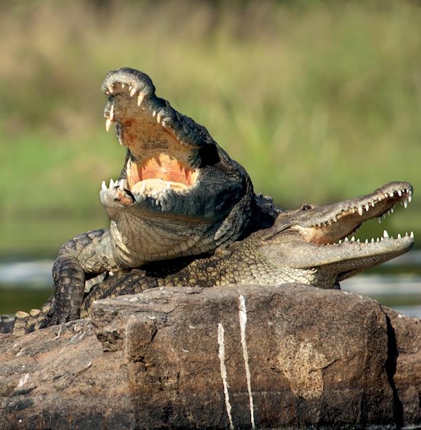 Hábitos reproductivos de los cocodrilos.