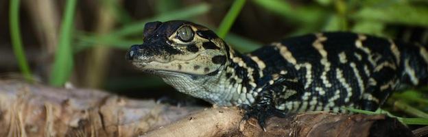 Crocodile Reproduction