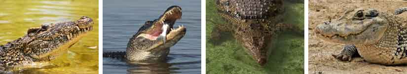 Facts about Crocodiles, Alligators and Caimans