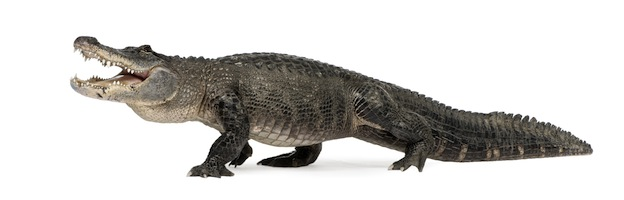 common alligator Picture