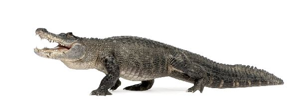Aligator_americano_Alligator_Mississippiensis_600