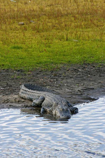 cocodrilo_americano_a_la_orilla_del_rio_600