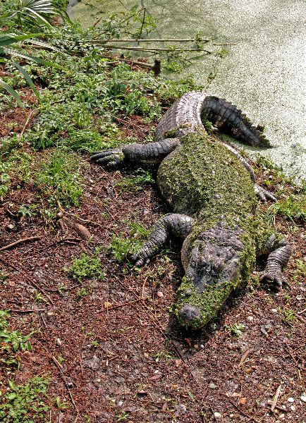 American Alligator Sleeping in the Sun