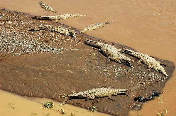 American Crocodiles in River