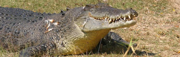 Crocodile-Alligator-Caiman