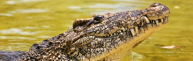 Cuban Crocodile