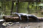 Florida Alligator Resting
