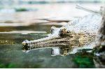 Gavial En El Agua