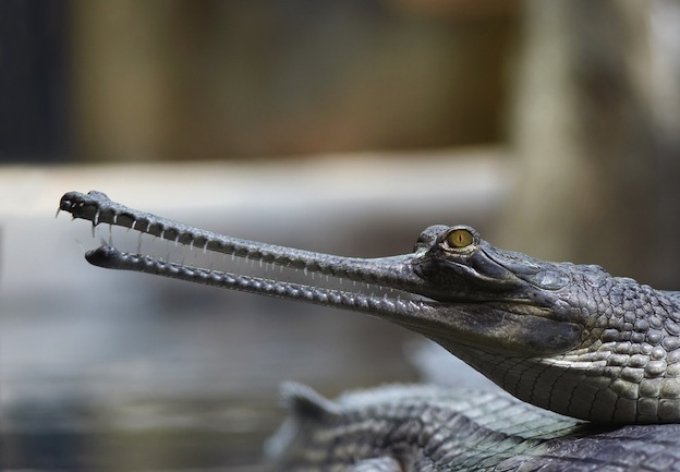 Gharial Facts