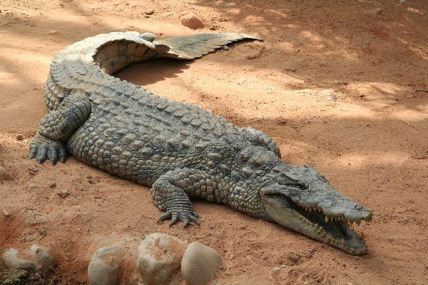 Huge Crocodile in Zoo