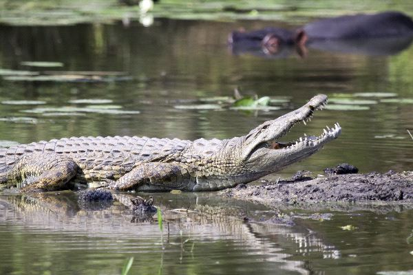 Nile Crocodile In Kruger Park South Africa