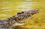 Profile of a Cuban Crocodile