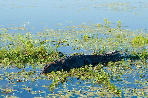 Saltwater Crocodile Crocodylus Porosus in Park