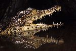 Young Caiman Showing His Teeth