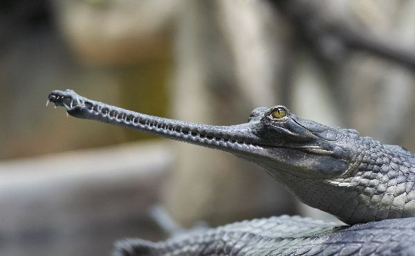 Young Indian Gavial or Gharial