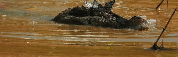 Melanosuchus niger_picture