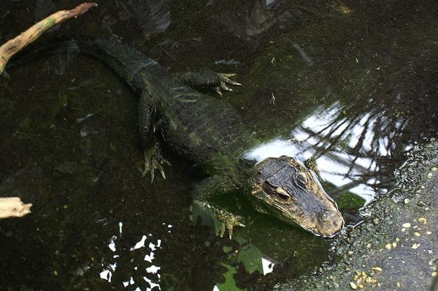 Características del cocodrilo enano.