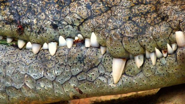 Descripción de los cocodrilos.
