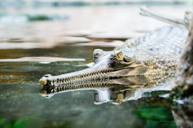 Descripción del gavial del Ganges.